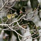 Hume's Leaf Warbler/Hume's Warbler