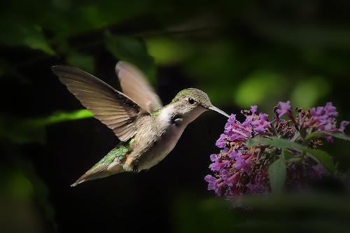 Garden Fairy by Liz Crono - Animals Birds ( flight, birds, hummingbirds )