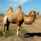 骆驼拼图 icon