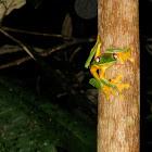 Gliding Treefrog