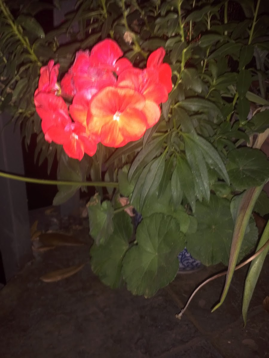 Red Geranium - American Bright Red
