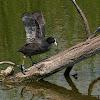 Focha común (Eurasian Coot)
