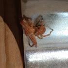 Thomisid Crab Spider