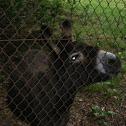 asno, burro(es),