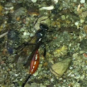 Sphecid Wasp ???