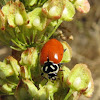 Spotless five spotted ladybug