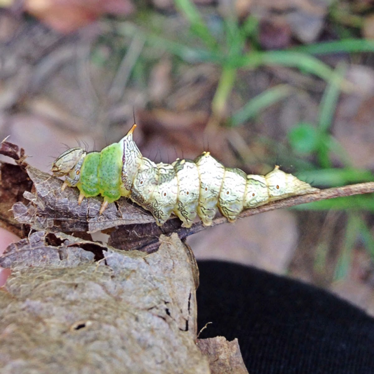 Morning-glory Prominent Moth Caterpillar