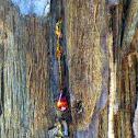Eucalyptus Resin