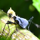 Beetle eating a small Banana Slug