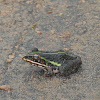 Indian Bullfrog