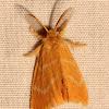 Yellow Tussock Moth