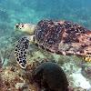 Huksbill turtle