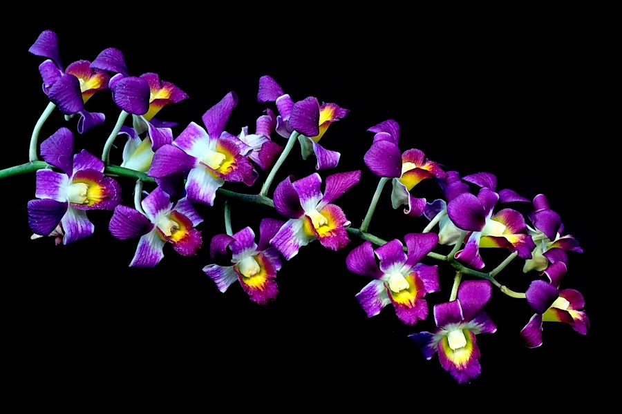 Beauty Purple Orchids by Harjono Djukyanto - Flowers Flower Gardens ( nature, purple, garden, flower )