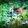 Bronze-winged Jacana (Immature)