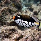 ClownTriggerfish