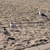 Ring-billed Gulls and Laughing Gull