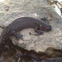 Streamside salamander