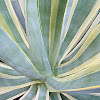 American agave