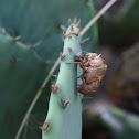 Cicada (shed exoskeleton)