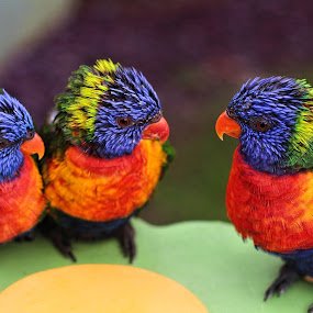 rainbow by Dean Thorpe - Animals Birds
