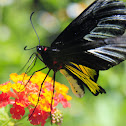 Magellan Birdwing (Male)