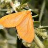 Orange beggar.