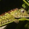Borneo Forest Dragon/Borneo Anglehead Lizard