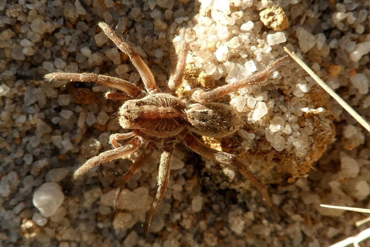 Aranha-de-grama