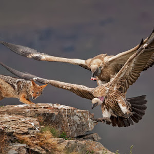 The vulture and the jackal 6 1400 300k 72d sRGB W.jpg