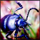 Unknown beetle?