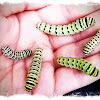Swallowtail (anise) Caterpillars