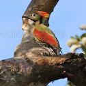 Crimson - winged Woodpecker