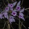 Unscented Dendrobium