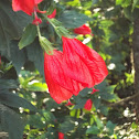 Malva-de-colibri