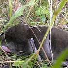 Eastern mole (dark phase)