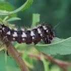 long-wninged dager moth