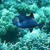 Black Triggerfish (humuhumu 'ele'ele)