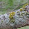 Fruticose and Crustose Lichen