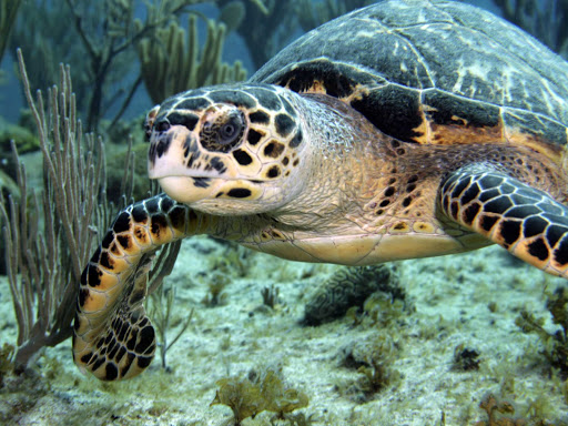 A green sea turtle off the Cobalt Coast of the Cayman Islands.