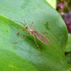 Termite-feeding assassin bug