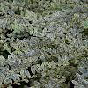 Planta de hojas  variegadas