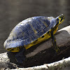 Yellow-bellied Slider