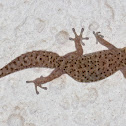 Cape thick-toed gecko
