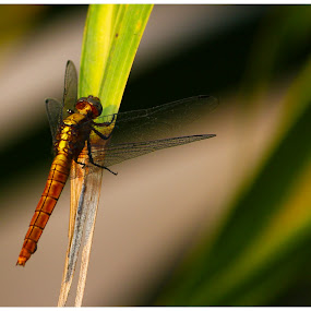 by Rajkumar Biswas - Animals Insects & Spiders ( insect, dragonfly, golden )