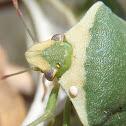 Egg of Trichopoda parasite in Nezara viridula