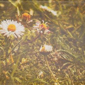 Stokrotki by Agnieszka Pogorzałek Gross - Flowers Flowers in the Wild ( stokrotki, white, flowers )
