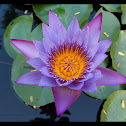 Cape Water Lily