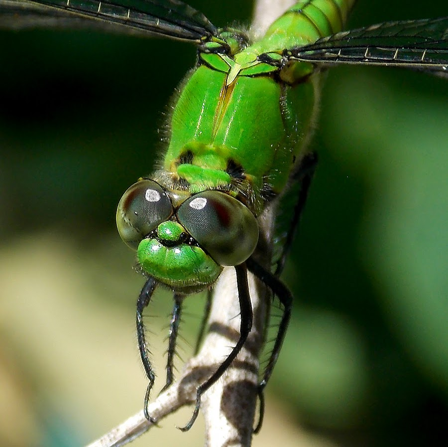 by William P. - Animals Insects & Spiders ( dragonfly )