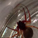 Broad-faced Sac Spider (female)
