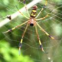 Golden silk spider (female)